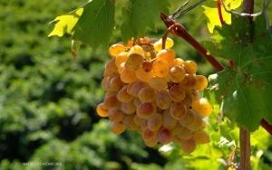 Geschichte des Weines